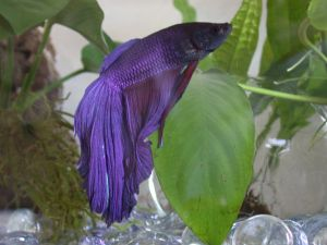 Purple Betta splendens