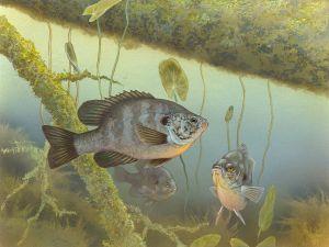 Redear sunfish (Lepomis microlophus)