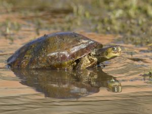 Turtle leaving the water
