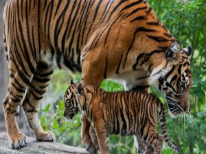 A tiger with cub