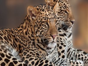 Duo of leopards