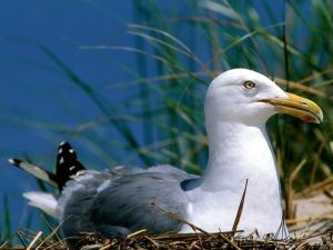 Gull on its nest