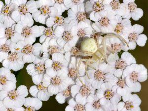 """Crab spider (Misumena vatia) over """"yarrow"""" (Achillea millefolium)"""