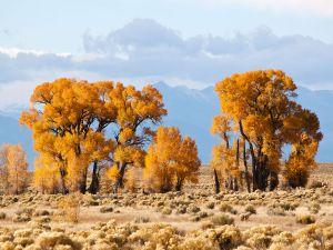 Narrow leaf cottonwood (Populus angustifolia) in Crestone, Colorado (USA)