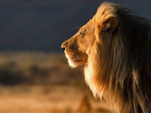 A majestic lion