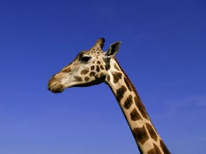 Head of giraffe