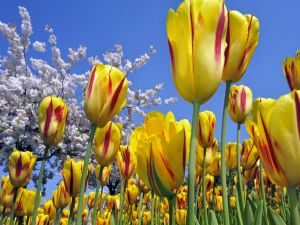 Field of yellow tulips with red spots