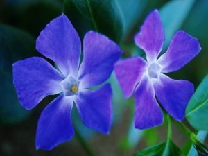 Two blue flowers