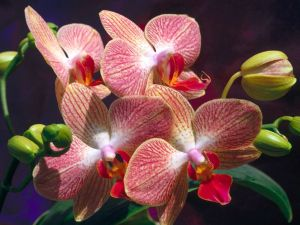Orchid with reddish tones