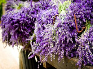 Lavender colored flowers