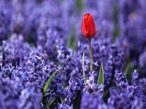 Red tulip between purple hyacinths