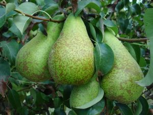 Pears on the pear-tree