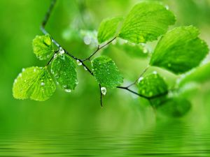 Branch with green leaves on the surface of the water