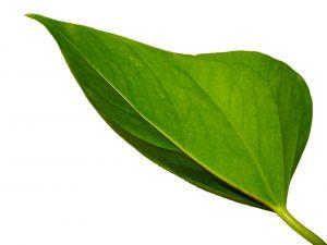 Backside of a leaf