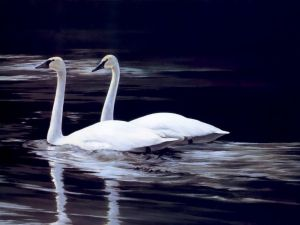 Beautiful pair of swans