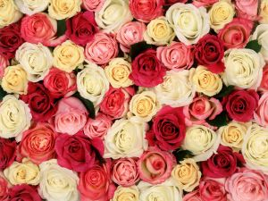 Roses of various colors