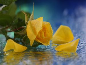 Yellow rose in the water