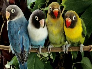Lovebirds of showy colors