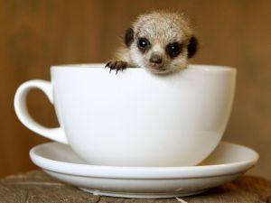 Meerkat in a cup
