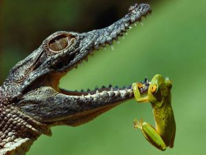 Frog hanged of the mouth of an alligator