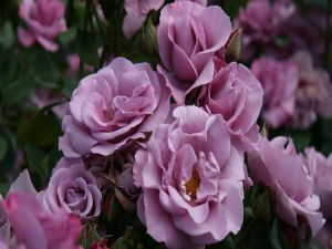 Violet colored roses