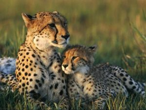 Motherly love between cheetahs