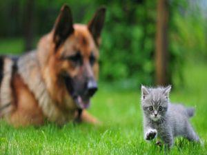 Kitten with a German Shepherd