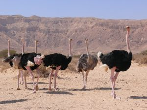 A flock of ostriches