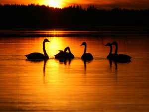 Swans on the water at sunrise