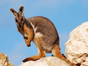 Kangaroo over some rocks