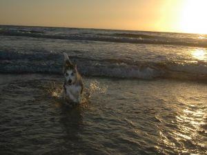 Alaskan Malamute playing on the beach