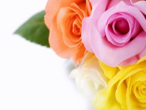 Four colors of roses
