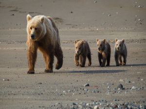 Mom bear and her cubs walking on the beach