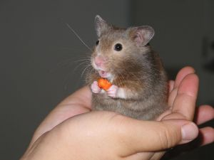 A hamster eating a piece of carrot