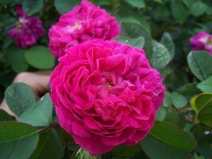 Rose in all its splendor