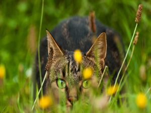 Green eyed cat, attentive over the grass