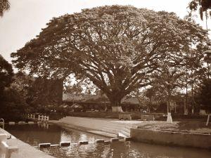 Big tree in Santander de Quilichao, Colombia