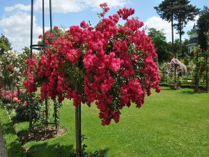 Rose Garden, Bagatelle (Paris, France)