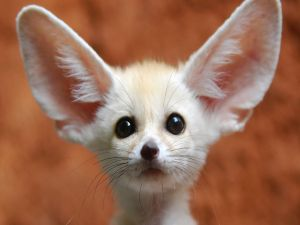 Fennec fox with big ears