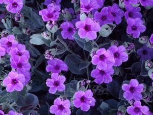 Flowers of violet colour