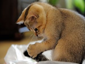 Kitten grabbing its tail
