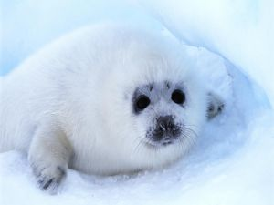 White seal in the snow