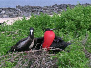 Magnificent Frigatebird, north Seymour Island, Galapagos