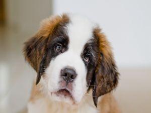 Puppy St. Bernard