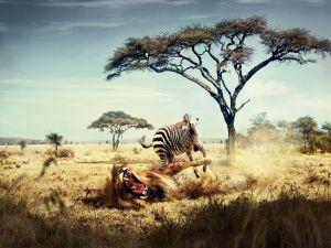 Zebra hunting a lion