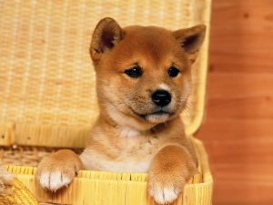 Puppy inside a basket