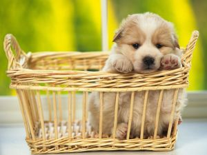 Puppy in a wicker basket
