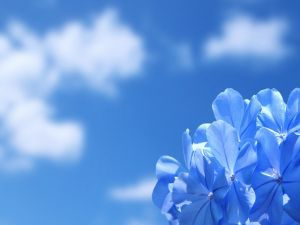 Hydrangea and blue sky