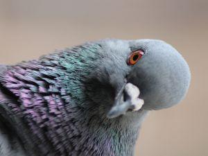 A pigeon (Columba livia)