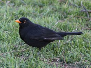 A male Blackbird (Turdus merula)